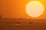 Burchell's Zebras during Sunset Photographic Print by  DLILLC