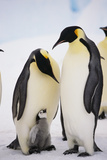 Chick between Adult Emperor Penguin Photographic Print by  DLILLC