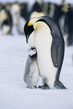 Chick Looking up at Adult Emperor Penguin Photographic Print by  DLILLC