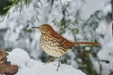 Brown Thrasher Photographic Print by Gary Carter