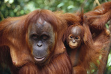 Mother and Young Orangutan Photographic Print by  DLILLC