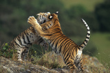 Bengal Tiger Cubs Playing Photographic Print by  DLILLC
