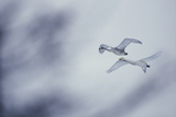 Flying Whooper Swans Impressão fotográfica por  DLILLC