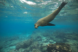 Sea Lion Swimming Underwater Photographic Print by  DLILLC
