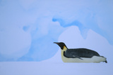 Emperor Penguins Sliding on Stomach Photographic Print by  DLILLC