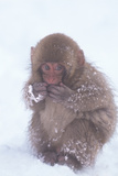 Japanese Macaque in the Snow Photographic Print by  DLILLC