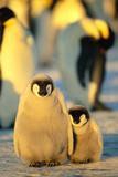 Sunlight on Sleeping Penguin Chicks Reproduction photographique par  DLILLC