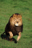 Running African Lion Photographic Print by  DLILLC