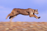 Racing Mountain Lion Photographic Print by  DLILLC