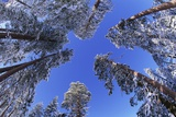 Ponderosa Pines in Winter Photographic Print by Darrell Gulin