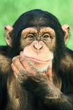 Pensive Chimpanzee Photographic Print by  DLILLC