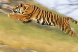 Bengal Tiger Racing Uphill Photographic Print by  DLILLC