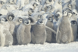 Penguin Chicks Exposed in Snow Photographic Print by  DLILLC