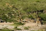 Impala Herd Papier Photo par Mary Ann McDonald