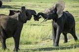 Elephants Fighting, Chobe National Park, Botswana Photographic Print by Paul Souders