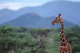 Reticulated Giraffe - Kenya Photographic Print by  DLILLC