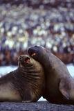 Elephant Seals Photographic Print by  DLILLC