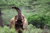 Elephant Waving its Trunk - Samburu Nr, Kenya Photographic Print by  DLILLC