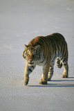 Siberian Tiger Walking on Snow Photographic Print by  DLILLC