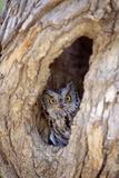 DLILLC - Eastern Screech-Owl in Tree Fotografická reprodukce