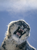 Snarling Snow Leopard Photographic Print by  DLILLC