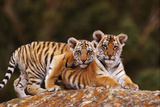 Bengal Tiger Cubs Posing on Rock Photographic Print by  DLILLC