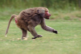 Excited Hamadryas Baboon Photographic Print by  DLILLC