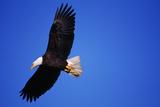 Bald Eagle Hunts, Nova Scotia Photographic Print by Paul Souders