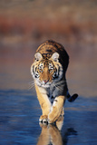 Tiger Walking on Wet Surface Reproduction photographique par  DLILLC