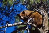 Black Bear in a Tree Photographic Print by Kennan Ward