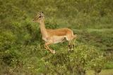 Impala Papier Photo par Mary Ann McDonald