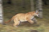Mountain Lion Running Photographic Print by  DLILLC