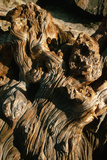Gnarled Piece of Driftwood, California Photographic Print by Dean Conger