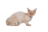 Devon Rex Cat Photographic Print by Fabio Petroni