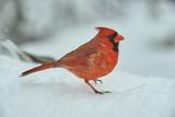 Cardinal del Nord Stampa fotografica di Gary Carter
