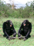 Chimps Socializing Photographic Print by  DLILLC
