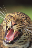 Hissing Leopard Photographic Print by  DLILLC