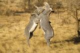 Grevy's Zebra Fighting Papier Photo par Mary Ann McDonald