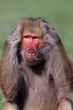 Hamadryas Baboon with Hands on Head Photographic Print by  DLILLC