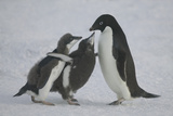 Adelie Penguin Chicks Begging for Food Photographic Print by  DLILLC