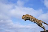 Leopard Jumping Photographic Print by  DLILLC
