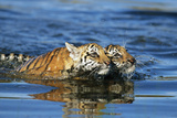 Bengal Tiger Cubs Swimming in Water Photographic Print by  DLILLC