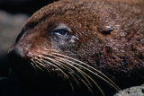 Closeup of Resting Seal Photographic Print by Paul Souders