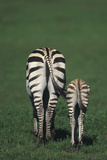 Hindquarters of Mare Zebra with Foal Photographic Print by  DLILLC