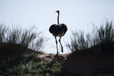 An Ostrich Crests a Dune Photographic Print by Richard Du Toit