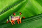 Red-Eyed Tree Frog on Leaf Fotografisk tryk af  DLILLC