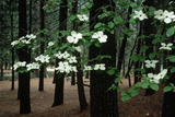 Dogwood in Bloom Photographic Print by Kevin Schafer