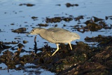 Black-Crowned Night Heron Reproduction photographique par Mary Ann McDonald