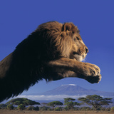Leaping Male Lion Photographic Print by  DLILLC