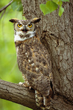 Great Horned Owl on Branch Photographic Print by  DLILLC